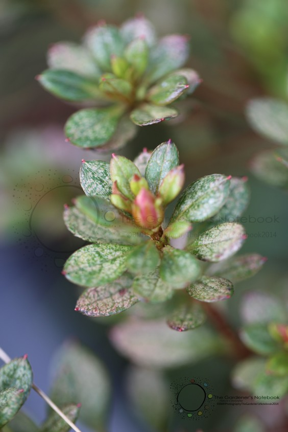 Plant Health: Why do my Azaleas have brown spots on their