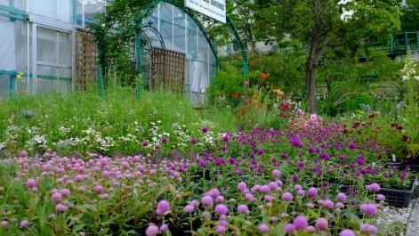 Kitagawa Village Monet's Garden Marmottan, kochi, swepea blue, annual flowers, gardens (21)