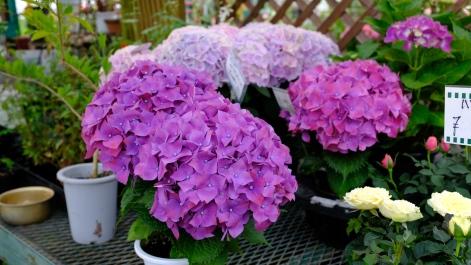 Kitagawa Village Monet's Garden Marmottan, kochi, swepea blue, annual flowers, gardens (22)