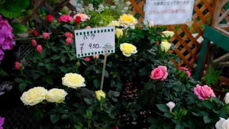 Kitagawa Village Monet's Garden Marmottan, kochi, swepea blue, annual flowers, gardens (23)