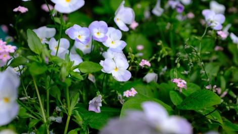 Kitagawa Village Monet's Garden Marmottan, kochi, swepea blue, annual flowers, gardens (30)