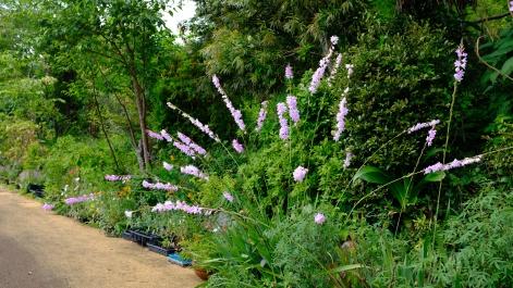 Kitagawa Village Monet's Garden Marmottan, kochi, swepea blue, annual flowers, gardens (6)