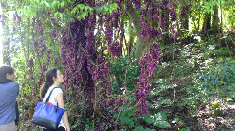 Kochi Japan Botaincal Gardens Tomitaro Makino travel, Mucuna sempervirens, vine with purple flowers that look like a pea flower (325)