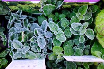 frost damage, frost, oregano