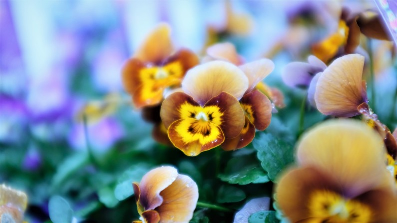 Honey bee viola, viola, annual colour