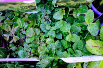 how to stop frost damage, frost, oregano,