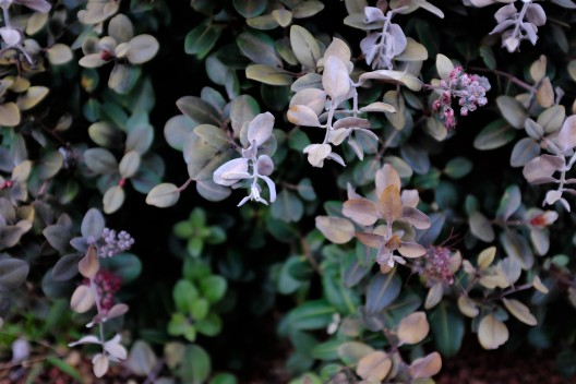 metrociderous, frost damage, how to treat frost damage