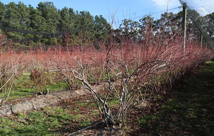 Moondarra blueberry farm 5