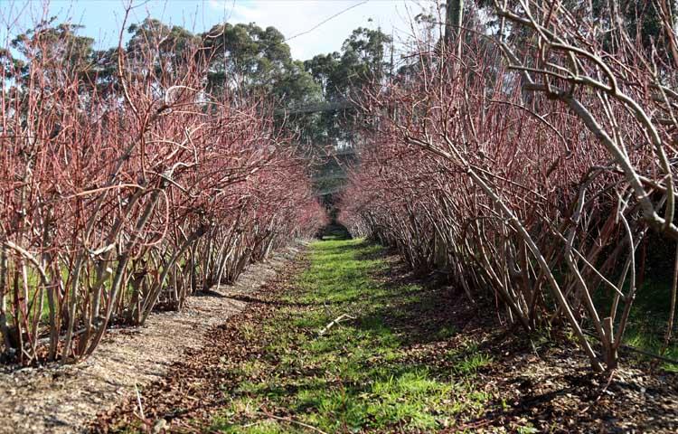 Moondarra blueberry farm