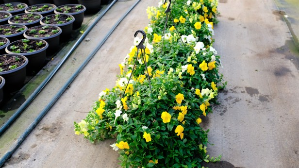 pansy, snapdragon, hanging basket, annual flowers, flowers.jpg