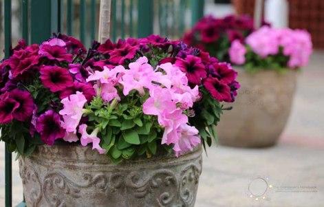 petunia burgandy, petunia pink, petunia, planter pots