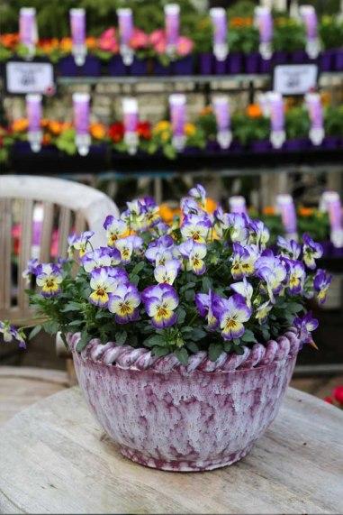 viola, viola displays, coconut swirl viola, colourful flowers