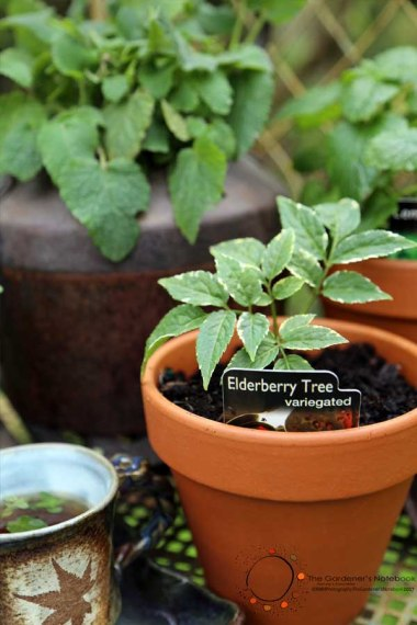 herbal tea, growing tea plants, tea garden, elderberry tree