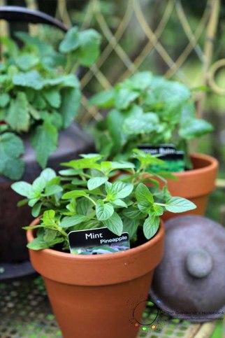 herbal tea, growing tea plants, tea garden, plants
