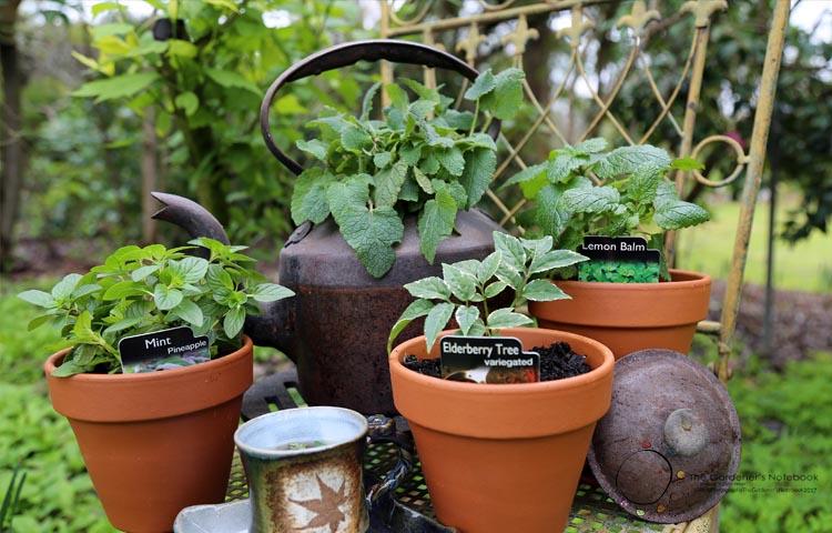 herbal tea, growing tea plants, tea garden