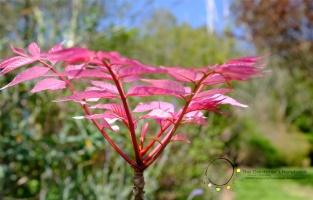 cedrela, pink tree