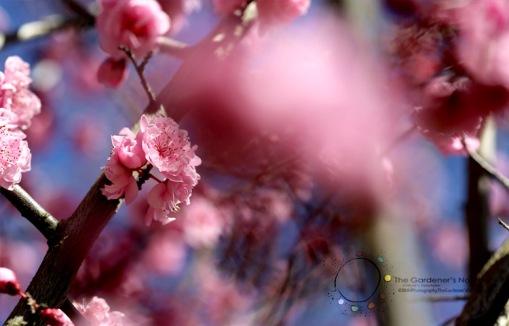 cherry blossom, pink blossom