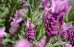 pink princess lavender