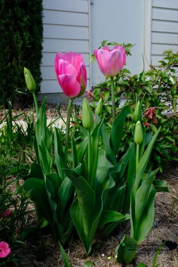 tulips, pink tulips