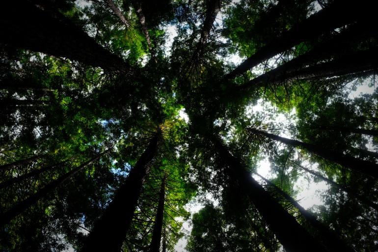 Redwood Forest 2-2