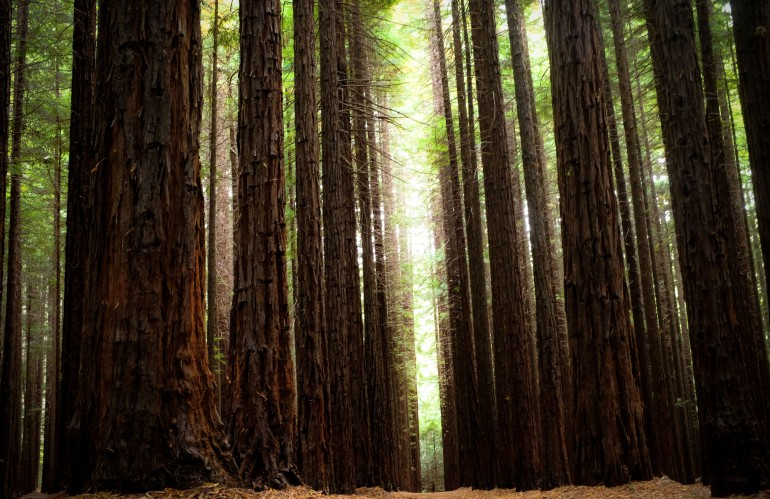 Redwood Forest 2